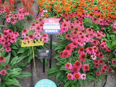 Echinacea Powwow Wild Berry  - Echinacea purpurea -  lg pot